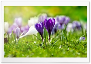 Field of Flowering Crocuses HD Wide Wallpaper for Widescreen