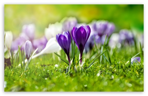 Field of Flowering Crocuses ❤ 4K UHD Wallpaper for Wide 16:10 5:3 Widescreen WHXGA WQXGA WUXGA WXGA WGA ; 4K UHD 16:9 Ultra High Definition 2160p 1440p 1080p 900p 720p ; Standard 4:3 5:4 3:2 Fullscreen UXGA XGA SVGA QSXGA SXGA DVGA HVGA HQVGA ( Apple PowerBook G4 iPhone 4 3G 3GS iPod Touch ) ; Tablet 1:1 ; iPad 1/2/Mini ; Mobile 4:3 5:3 3:2 16:9 5:4 - UXGA XGA SVGA WGA DVGA HVGA HQVGA ( Apple PowerBook G4 iPhone 4 3G 3GS iPod Touch ) 2160p 1440p 1080p 900p 720p QSXGA SXGA ;