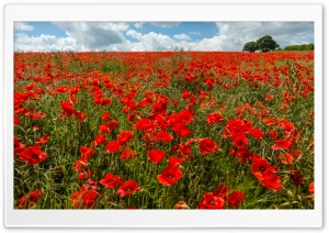 Field of Poppies HD Wide Wallpaper for 4K UHD Widescreen desktop & smartphone