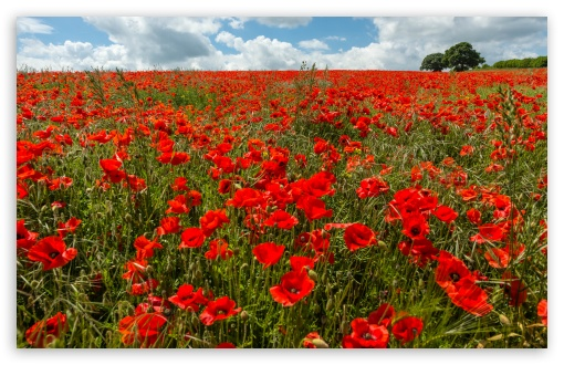 Field of Poppies ❤ 4K UHD Wallpaper for Wide 16:10 5:3 Widescreen WHXGA WQXGA WUXGA WXGA WGA ; UltraWide 21:9 24:10 ; 4K UHD 16:9 Ultra High Definition 2160p 1440p 1080p 900p 720p ; UHD 16:9 2160p 1440p 1080p 900p 720p ; Standard 4:3 5:4 3:2 Fullscreen UXGA XGA SVGA QSXGA SXGA DVGA HVGA HQVGA ( Apple PowerBook G4 iPhone 4 3G 3GS iPod Touch ) ; Smartphone 16:9 3:2 5:3 2160p 1440p 1080p 900p 720p DVGA HVGA HQVGA ( Apple PowerBook G4 iPhone 4 3G 3GS iPod Touch ) WGA ; Tablet 1:1 ; iPad 1/2/Mini ; Mobile 4:3 5:3 3:2 16:9 5:4 - UXGA XGA SVGA WGA DVGA HVGA HQVGA ( Apple PowerBook G4 iPhone 4 3G 3GS iPod Touch ) 2160p 1440p 1080p 900p 720p QSXGA SXGA ; Dual 16:10 5:3 16:9 4:3 5:4 3:2 WHXGA WQXGA WUXGA WXGA WGA 2160p 1440p 1080p 900p 720p UXGA XGA SVGA QSXGA SXGA DVGA HVGA HQVGA ( Apple PowerBook G4 iPhone 4 3G 3GS iPod Touch ) ; Triple 16:10 5:3 16:9 4:3 5:4 3:2 WHXGA WQXGA WUXGA WXGA WGA 2160p 1440p 1080p 900p 720p UXGA XGA SVGA QSXGA SXGA DVGA HVGA HQVGA ( Apple PowerBook G4 iPhone 4 3G 3GS iPod Touch ) ;