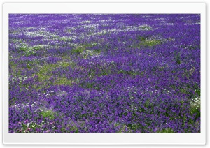 Field Of Purple Flowers HD Wide Wallpaper for 4K UHD Widescreen desktop & smartphone