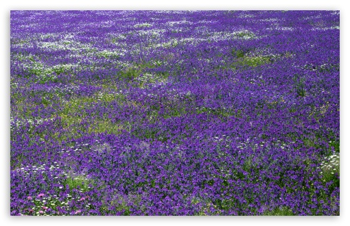 Field Of Purple Flowers HD wallpaper for Wide 16:10 5:3 Widescreen WHXGA WQXGA WUXGA WXGA WGA ; HD 16:9 High Definition WQHD QWXGA 1080p 900p 720p QHD nHD ; Standard 4:3 5:4 3:2 Fullscreen UXGA XGA SVGA QSXGA SXGA DVGA HVGA HQVGA devices ( Apple PowerBook G4 iPhone 4 3G 3GS iPod Touch ) ; Tablet 1:1 ; iPad 1/2/Mini ; Mobile 4:3 5:3 3:2 16:9 5:4 - UXGA XGA SVGA WGA DVGA HVGA HQVGA devices ( Apple PowerBook G4 iPhone 4 3G 3GS iPod Touch ) WQHD QWXGA 1080p 900p 720p QHD nHD QSXGA SXGA ; Dual 16:10 5:3 16:9 4:3 5:4 WHXGA WQXGA WUXGA WXGA WGA WQHD QWXGA 1080p 900p 720p QHD nHD UXGA XGA SVGA QSXGA SXGA ;