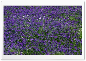 Field Of Purple Flowers 1 HD Wide Wallpaper for Widescreen