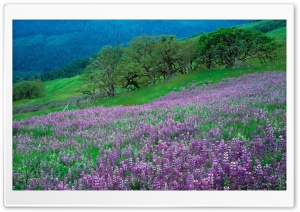 Field of Purple Flowers HD Wide Wallpaper for Widescreen