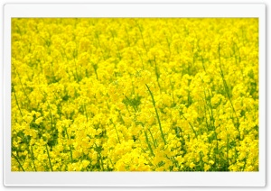 Field Of Rapeseed HD Wide Wallpaper for Widescreen