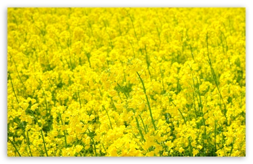 Field Of Rapeseed ❤ 4K UHD Wallpaper for Wide 16:10 5:3 Widescreen WHXGA WQXGA WUXGA WXGA WGA ; 4K UHD 16:9 Ultra High Definition 2160p 1440p 1080p 900p 720p ; UHD 16:9 2160p 1440p 1080p 900p 720p ; Standard 4:3 5:4 3:2 Fullscreen UXGA XGA SVGA QSXGA SXGA DVGA HVGA HQVGA ( Apple PowerBook G4 iPhone 4 3G 3GS iPod Touch ) ; Smartphone 5:3 WGA ; Tablet 1:1 ; iPad 1/2/Mini ; Mobile 4:3 5:3 3:2 16:9 5:4 - UXGA XGA SVGA WGA DVGA HVGA HQVGA ( Apple PowerBook G4 iPhone 4 3G 3GS iPod Touch ) 2160p 1440p 1080p 900p 720p QSXGA SXGA ; Dual 16:10 5:3 16:9 4:3 5:4 WHXGA WQXGA WUXGA WXGA WGA 2160p 1440p 1080p 900p 720p UXGA XGA SVGA QSXGA SXGA ;