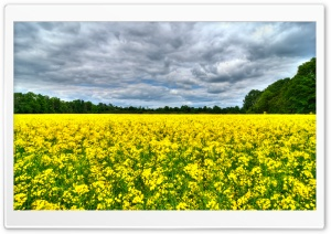 Field of Rapeseeds Ultra HD Wallpaper for 4K UHD Widescreen desktop, tablet & smartphone