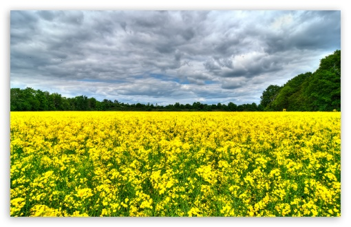 Field of Rapeseeds HD wallpaper for Wide 16:10 5:3 Widescreen WHXGA WQXGA WUXGA WXGA WGA ; HD 16:9 High Definition WQHD QWXGA 1080p 900p 720p QHD nHD ; UHD 16:9 WQHD QWXGA 1080p 900p 720p QHD nHD ; Standard 4:3 5:4 3:2 Fullscreen UXGA XGA SVGA QSXGA SXGA DVGA HVGA HQVGA devices ( Apple PowerBook G4 iPhone 4 3G 3GS iPod Touch ) ; Tablet 1:1 ; iPad 1/2/Mini ; Mobile 4:3 5:3 3:2 16:9 5:4 - UXGA XGA SVGA WGA DVGA HVGA HQVGA devices ( Apple PowerBook G4 iPhone 4 3G 3GS iPod Touch ) WQHD QWXGA 1080p 900p 720p QHD nHD QSXGA SXGA ; Dual 16:10 5:3 16:9 4:3 5:4 WHXGA WQXGA WUXGA WXGA WGA WQHD QWXGA 1080p 900p 720p QHD nHD UXGA XGA SVGA QSXGA SXGA ;