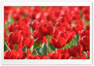 Field Of Red Tulips HD Wide Wallpaper for Widescreen