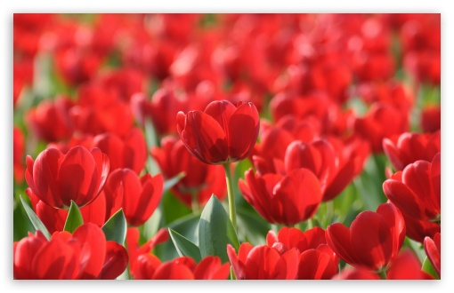 Field Of Red Tulips ❤ 4K UHD Wallpaper for Wide 16:10 5:3 Widescreen WHXGA WQXGA WUXGA WXGA WGA ; 4K UHD 16:9 Ultra High Definition 2160p 1440p 1080p 900p 720p ; Standard 4:3 5:4 3:2 Fullscreen UXGA XGA SVGA QSXGA SXGA DVGA HVGA HQVGA ( Apple PowerBook G4 iPhone 4 3G 3GS iPod Touch ) ; Tablet 1:1 ; iPad 1/2/Mini ; Mobile 4:3 5:3 3:2 16:9 5:4 - UXGA XGA SVGA WGA DVGA HVGA HQVGA ( Apple PowerBook G4 iPhone 4 3G 3GS iPod Touch ) 2160p 1440p 1080p 900p 720p QSXGA SXGA ; Dual 4:3 5:4 UXGA XGA SVGA QSXGA SXGA ;