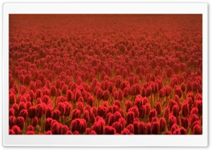Field Of Scarlet Tulips HD Wide Wallpaper for Widescreen