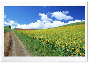 Field of Sunflowers HD Wide Wallpaper for 4K UHD Widescreen desktop & smartphone