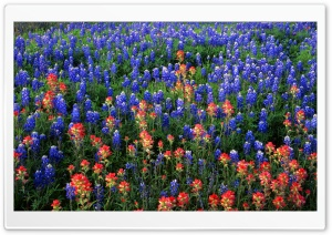 Field Of Texas Paintbrush And Bluebonnets Inks Lake State Park Texas HD Wide Wallpaper for Widescreen