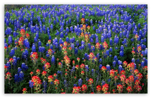 Field Of Texas Paintbrush And Bluebonnets Inks Lake State Park Texas HD wallpaper for Wide 16:10 5:3 Widescreen WHXGA WQXGA WUXGA WXGA WGA ; HD 16:9 High Definition WQHD QWXGA 1080p 900p 720p QHD nHD ; Standard 4:3 5:4 3:2 Fullscreen UXGA XGA SVGA QSXGA SXGA DVGA HVGA HQVGA devices ( Apple PowerBook G4 iPhone 4 3G 3GS iPod Touch ) ; Tablet 1:1 ; iPad 1/2/Mini ; Mobile 4:3 5:3 3:2 16:9 5:4 - UXGA XGA SVGA WGA DVGA HVGA HQVGA devices ( Apple PowerBook G4 iPhone 4 3G 3GS iPod Touch ) WQHD QWXGA 1080p 900p 720p QHD nHD QSXGA SXGA ;