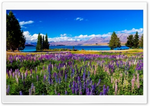Field of Violet Flowers and a Blue Lake HD Wide Wallpaper for 4K UHD Widescreen desktop & smartphone