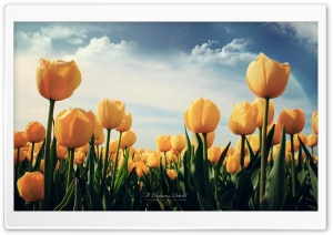 Field of Yellow Tulips HD Wide Wallpaper for Widescreen