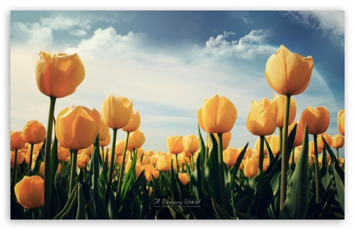 Field of Yellow Tulips HD wallpaper for Wide 16:10 5:3 Widescreen WHXGA WQXGA WUXGA WXGA WGA ; HD 16:9 High Definition WQHD QWXGA 1080p 900p 720p QHD nHD ; Standard 3:2 Fullscreen DVGA HVGA HQVGA devices ( Apple PowerBook G4 iPhone 4 3G 3GS iPod Touch ) ; Mobile 5:3 3:2 16:9 - WGA DVGA HVGA HQVGA devices ( Apple PowerBook G4 iPhone 4 3G 3GS iPod Touch ) WQHD QWXGA 1080p 900p 720p QHD nHD ;