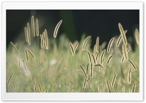Field Spikelets HD Wide Wallpaper for Widescreen