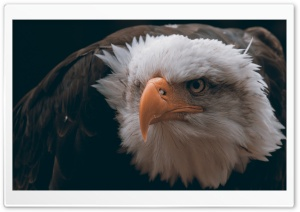 Fierce Eagle HD Wide Wallpaper for Widescreen