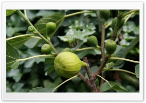 Fig HD Wide Wallpaper for Widescreen