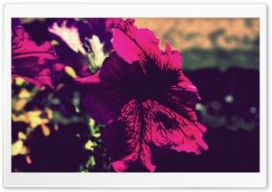 Fiore HD Wide Wallpaper for Widescreen