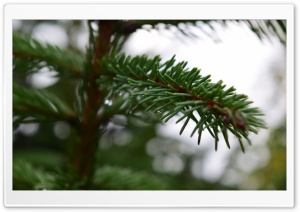 Fir branch HD Wide Wallpaper for Widescreen