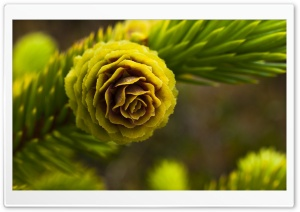 Fir Cone HD Wide Wallpaper for Widescreen