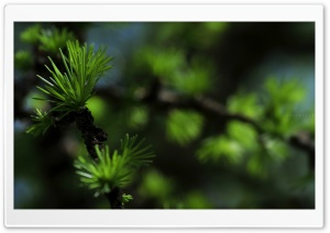 Fir Needles Macro HD Wide Wallpaper for 4K UHD Widescreen desktop & smartphone
