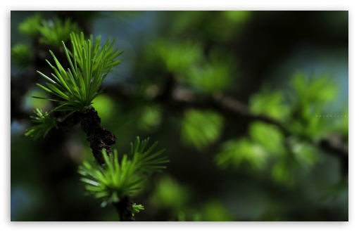 Fir Needles Macro ❤ 4K UHD Wallpaper for Wide 16:10 5:3 Widescreen WHXGA WQXGA WUXGA WXGA WGA ; 4K UHD 16:9 Ultra High Definition 2160p 1440p 1080p 900p 720p ; Standard 4:3 5:4 3:2 Fullscreen UXGA XGA SVGA QSXGA SXGA DVGA HVGA HQVGA ( Apple PowerBook G4 iPhone 4 3G 3GS iPod Touch ) ; Tablet 1:1 ; iPad 1/2/Mini ; Mobile 4:3 5:3 3:2 16:9 5:4 - UXGA XGA SVGA WGA DVGA HVGA HQVGA ( Apple PowerBook G4 iPhone 4 3G 3GS iPod Touch ) 2160p 1440p 1080p 900p 720p QSXGA SXGA ;