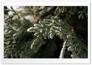 Fir Tree Branch HD Wide Wallpaper for Widescreen