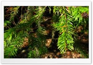Fir Tree Branches HD Wide Wallpaper for Widescreen