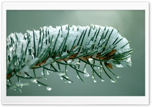 Fir Tree Needles HD Wide Wallpaper for Widescreen