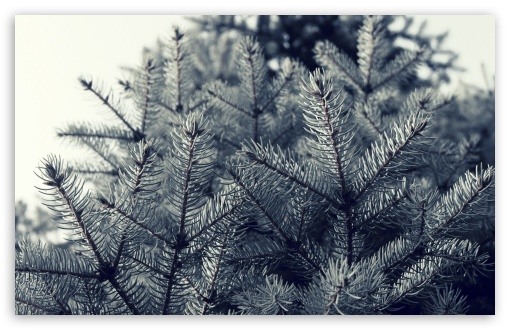 Fir Tree Needles ❤ 4K UHD Wallpaper for Wide 16:10 5:3 Widescreen WHXGA WQXGA WUXGA WXGA WGA ; 4K UHD 16:9 Ultra High Definition 2160p 1440p 1080p 900p 720p ; UHD 16:9 2160p 1440p 1080p 900p 720p ; Standard 4:3 5:4 3:2 Fullscreen UXGA XGA SVGA QSXGA SXGA DVGA HVGA HQVGA ( Apple PowerBook G4 iPhone 4 3G 3GS iPod Touch ) ; Tablet 1:1 ; iPad 1/2/Mini ; Mobile 4:3 5:3 3:2 16:9 5:4 - UXGA XGA SVGA WGA DVGA HVGA HQVGA ( Apple PowerBook G4 iPhone 4 3G 3GS iPod Touch ) 2160p 1440p 1080p 900p 720p QSXGA SXGA ; Dual 16:10 5:3 4:3 5:4 WHXGA WQXGA WUXGA WXGA WGA UXGA XGA SVGA QSXGA SXGA ;