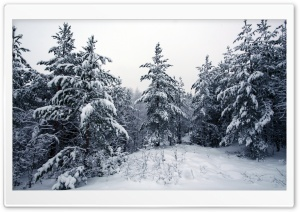 Fir Trees Covered In Snow HD Wide Wallpaper for 4K UHD Widescreen desktop & smartphone