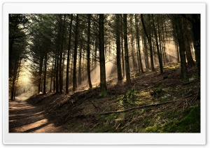 Fir Trees Wood HD Wide Wallpaper for Widescreen