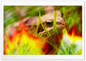 Fire Frog Ultra HD Wallpaper for 4K UHD Widescreen desktop, tablet & smartphone