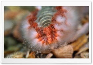 Fireworm Macro HD Wide Wallpaper for Widescreen