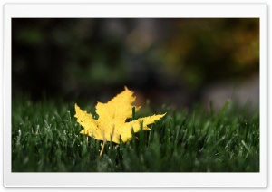 First Leaf HD Wide Wallpaper for 4K UHD Widescreen desktop & smartphone