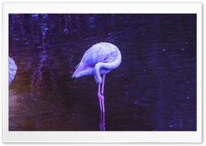 Flamingo HD Wide Wallpaper for Widescreen