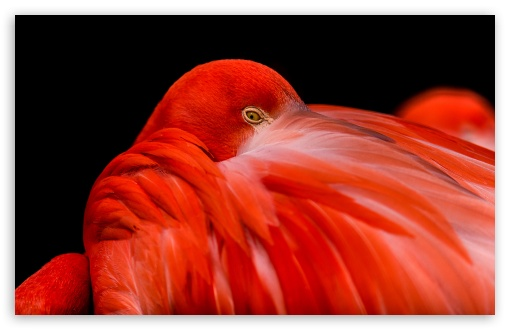 Flamingo Bird HD wallpaper for Standard 4:3 5:4 Fullscreen UXGA XGA SVGA QSXGA SXGA ; Wide 16:10 5:3 Widescreen WHXGA WQXGA WUXGA WXGA WGA ; HD 16:9 High Definition WQHD QWXGA 1080p 900p 720p QHD nHD ; Other 3:2 DVGA HVGA HQVGA devices ( Apple PowerBook G4 iPhone 4 3G 3GS iPod Touch ) ; Mobile VGA WVGA iPhone iPad PSP Phone - VGA QVGA Smartphone ( PocketPC GPS iPod Zune BlackBerry HTC Samsung LG Nokia Eten Asus ) WVGA WQVGA Smartphone ( HTC Samsung Sony Ericsson LG Vertu MIO ) HVGA Smartphone ( Apple iPhone iPod BlackBerry HTC Samsung Nokia ) Sony PSP Zune HD Zen ; Tablet 2 Android ;