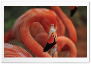 Flamingo Bird Ultra HD Wallpaper for 4K UHD Widescreen desktop, tablet & smartphone