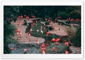 Flamingo Birds HD Wide Wallpaper for Widescreen