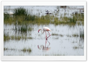 Flamingo, Kenya HD Wide Wallpaper for Widescreen