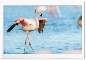 Flamingo, Water HD Wide Wallpaper for 4K UHD Widescreen desktop & smartphone