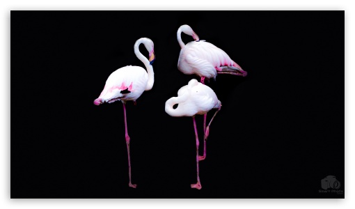 Flamingos ❤ 4K UHD Wallpaper for 4K UHD 16:9 Ultra High Definition 2160p 1440p 1080p 900p 720p ; UHD 16:9 2160p 1440p 1080p 900p 720p ; Smartphone 16:9 5:3 2160p 1440p 1080p 900p 720p WGA ; Tablet 1:1 ; Mobile 5:3 16:9 5:4 - WGA 2160p 1440p 1080p 900p 720p QSXGA SXGA ;