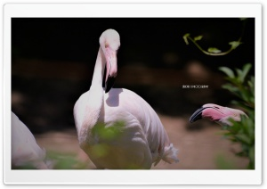 FLAMINGOS BIRD - SARDAR JI PHOTOGRAPHY HD Wide Wallpaper for 4K UHD Widescreen desktop & smartphone