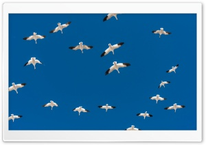 Flock of Geese in Flight HD Wide Wallpaper for 4K UHD Widescreen desktop & smartphone