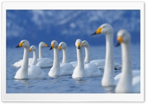 Flock Of Swans HD Wide Wallpaper for 4K UHD Widescreen desktop & smartphone