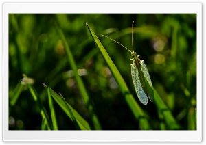 Florfliege Lacewing Zlatooka HD Wide Wallpaper for Widescreen