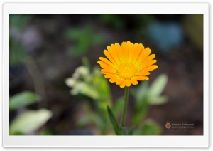 Flower HD Wide Wallpaper for Widescreen